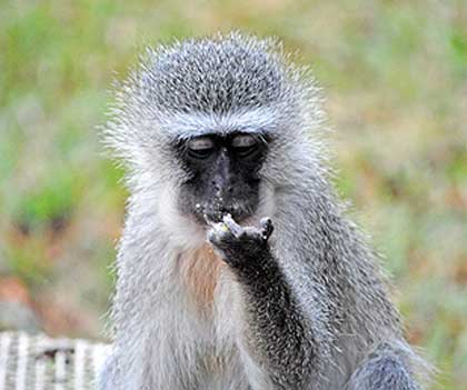 Bush-Animals-Vervet-Monkey