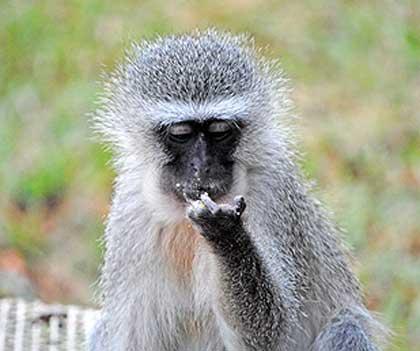 Bush-Animals-Vervet-Monkey