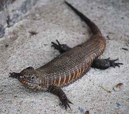 African-Yard-Giant-Plated-Lizard-Wildmoz.com