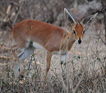 Bush-Animals-Steenbuck-Ewe