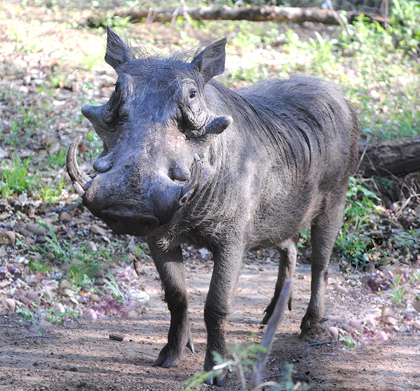 Tusk-Warthog-Wildmoz.com