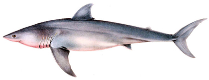 Big-Five-Great-White-Shark-Wildmoz.com