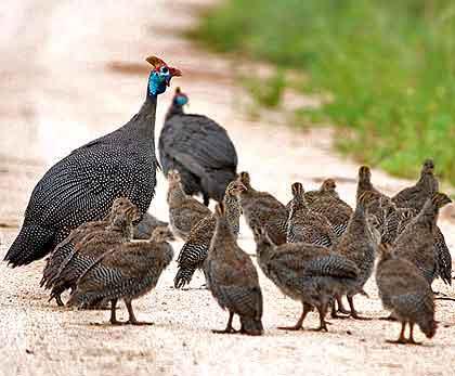 Leguaan-Helmeted-Guinea-Fowl-and-Chicks-Wildmoz.com