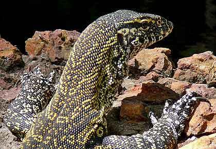 Leguaan-Nile-Monitor-Lizard-Wildmoz.com