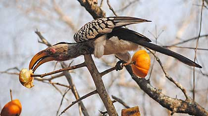 Stooky-and-Lil-Hornbill-Eating-Wildmoz.com