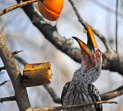 Stooky-and-Lil-Male-Hornbill-Eating-Wildmoz.com
