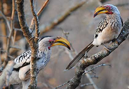 Stooky-and-Lil-Hornbills-Wildmoz.com