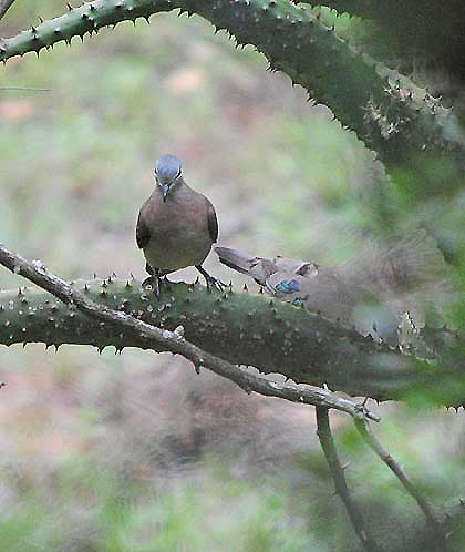 Bushveld-Birds-Emerald-Spotted-Wood-Dove-With-Baby-Wildmoz.com