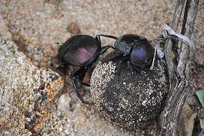 Bushveld-Dung-Beetle-Wildmoz.com