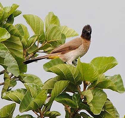 Bushveld-Birds-Daddy-Bulbul-Wildmoz.com