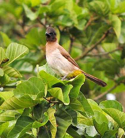 Bushveld-Birds-Mommy-Bulbul-Wildmoz.com