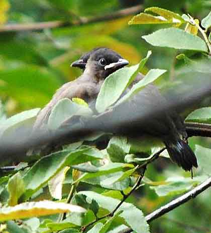 Bushveld-Birds-Baby-Bulbuls-Wildmoz.com