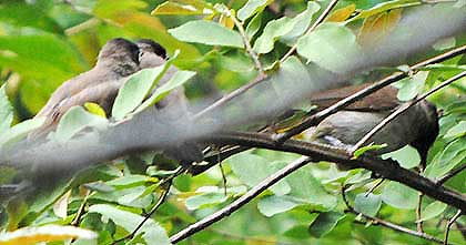 Bushveld-Birds-Bulbul-Cleaning-a-Worm-Wildmoz.com