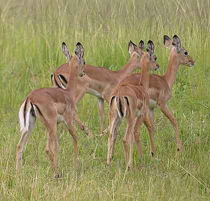Bushveld-Babies-Impala-Wildmoz.com
