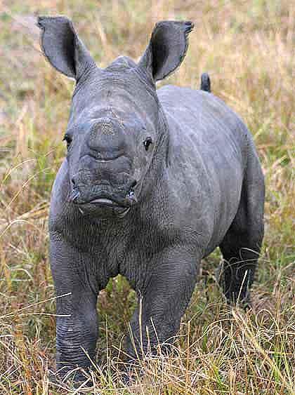 Bushveld-Babies-Rhino-Wildmoz.com