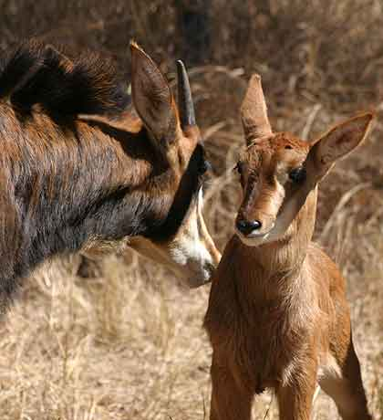 Bushveld-Babies-Sable-Wildmoz.com