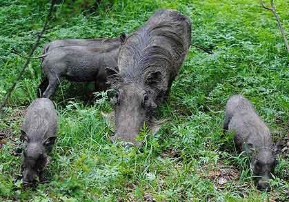 Bushveld-Babies-Warthog-Wildmoz.com
