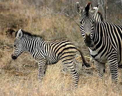 Bushveld-Babies-Zebra-Wildmoz.com