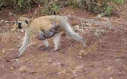 Bushveld-Babies-Monkey-Wildmoz.com