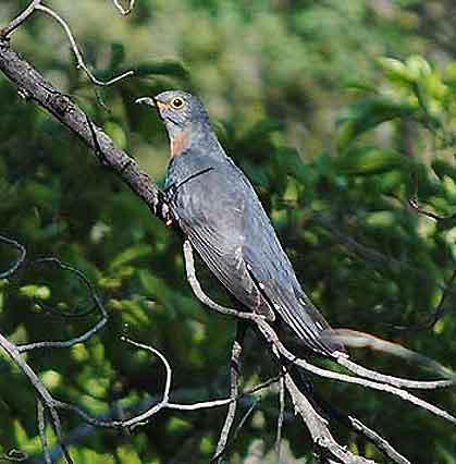 Bushveld-Birds-Adult-Red-Chested-Cuckoo-Wildmoz.com