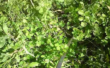 Marog-Mixed-Crop-of-Edible-Greens-Wildmoz.com