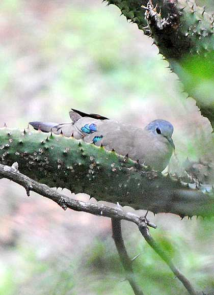 Bushveld-Birds-Emerald-Spotted-Wood-Dove-Fledgling-Wildmoz.com