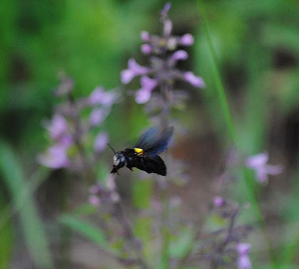 Bushveld-Bumble-Bee-Wildmoz.com