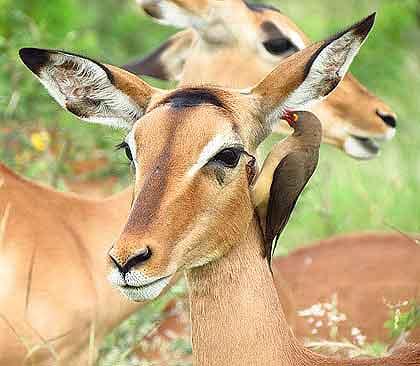 Impala-Ewe-Wildmoz.com