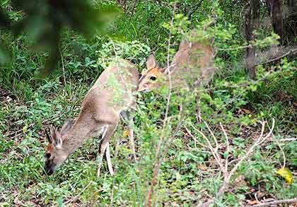 Bushveld-Duikers-Wildmoz.com
