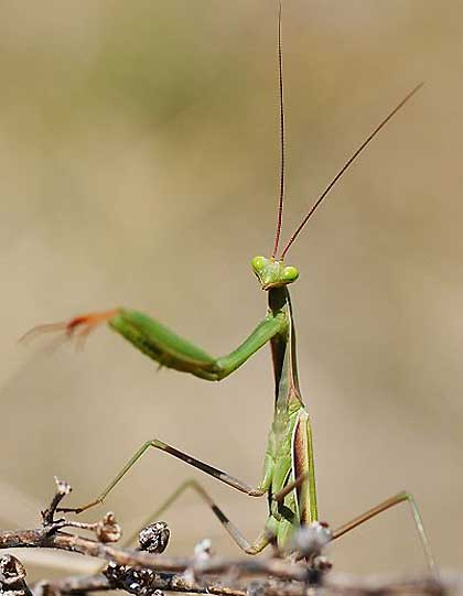 Mantis-Beckoning-Wildmoz.com