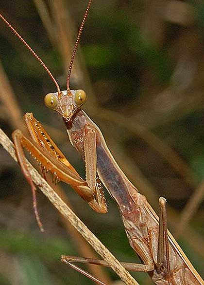 Mantis-Observing-Wildmoz.com