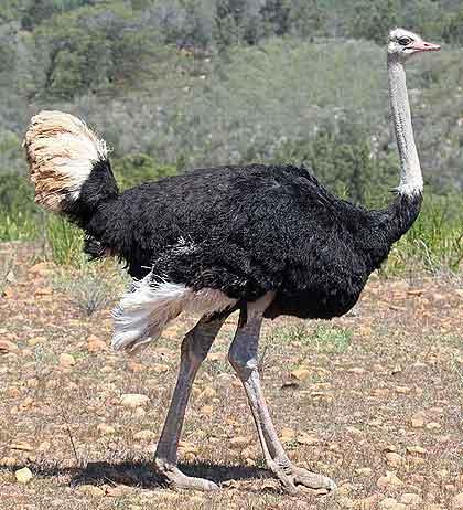 Mantis-Ostrich-Wildmoz.com