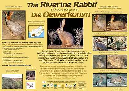 Riverine-Rabbit-Poster-Wildmoz.com