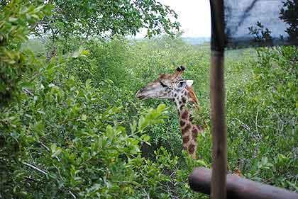Bushveld-Stoep-Giraffe-Wildmoz.com