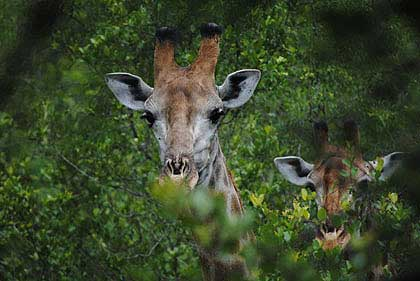 Bushveld-Giraffe-at-tree-level-Wildmoz.com