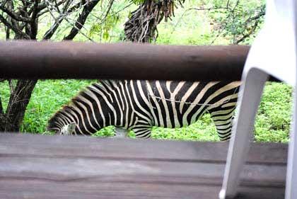 Bushveld-Zebra-Wildmoz.com