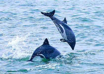 Benguela-Dolphins-Playing-Wildmoz.com