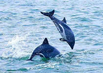 Benguela-Dolphins-Playing-Wildmoz.com