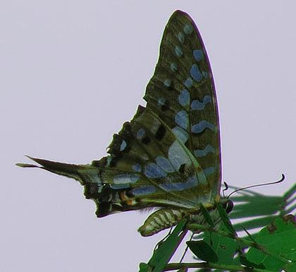 Blue-Butterfly-Wildmoz.com