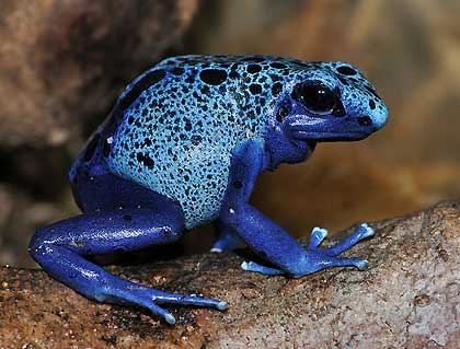 Blue-poison-dart-frog-Wildmoz.com