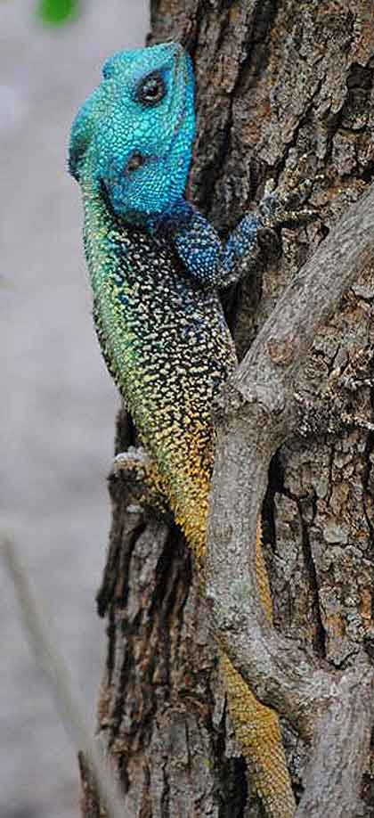 Blue-Headed-Agama-Wildmoz.com
