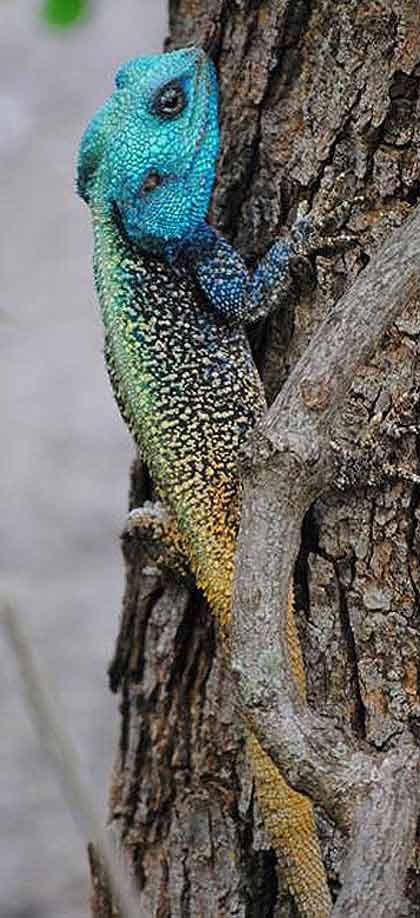 Blue-Headed-Agama-Wildmoz.com