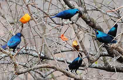 Blue-Starlings-Wildmoz.com