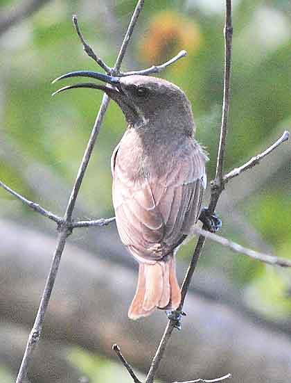 Boomslang-Sunbird-Wildmoz.com