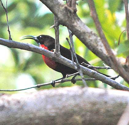 Boomslang-Sunbird-Male-Wildmoz.com