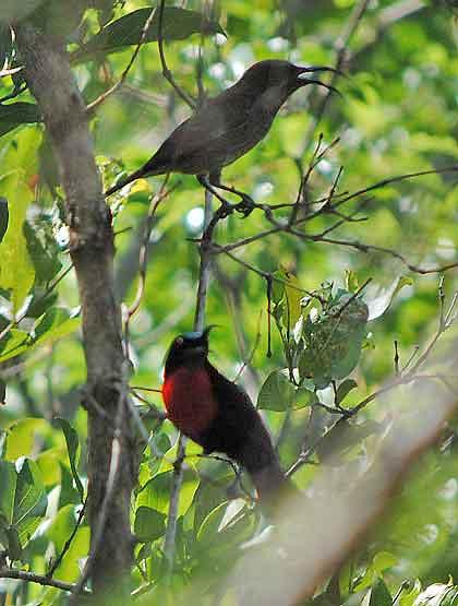 Boomslang-Sunbirds-Defending-Wildmoz.com