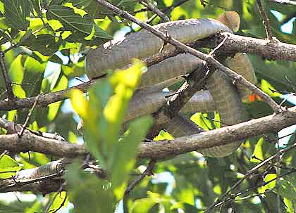 Boomslang-Coiled-Up-Wildmoz.com