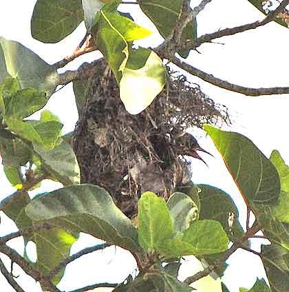 Boomslang-Sunbirds-Nest-Wildmoz.com