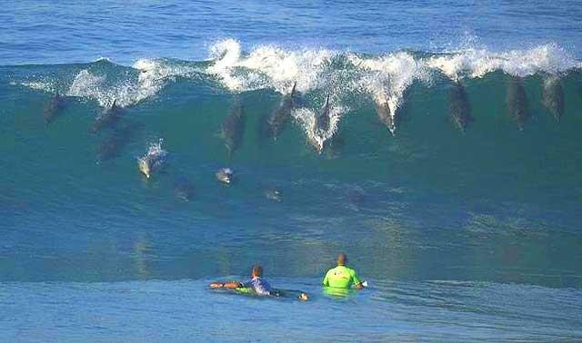Benguela-Dolphin-Dolphins-Surfing-Wildmoz.com