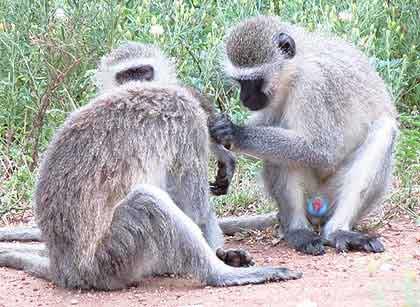 Monkey-blue-Wildmoz.com